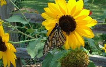 Sunflower with a butterfly on it